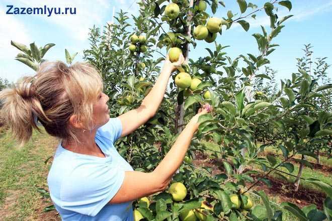 Женщина собирает яблоки с дерева