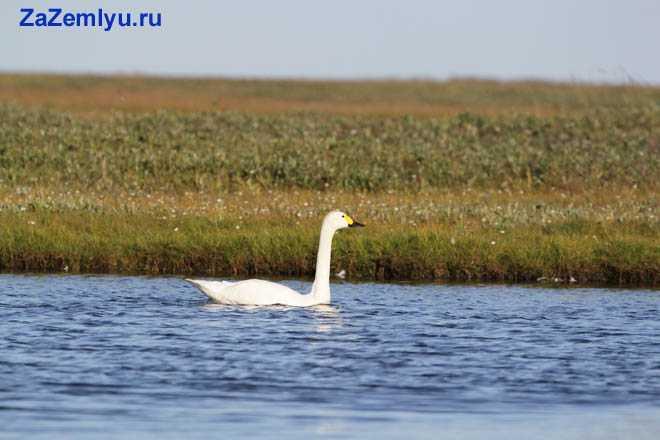 Лебедь плывет по реке