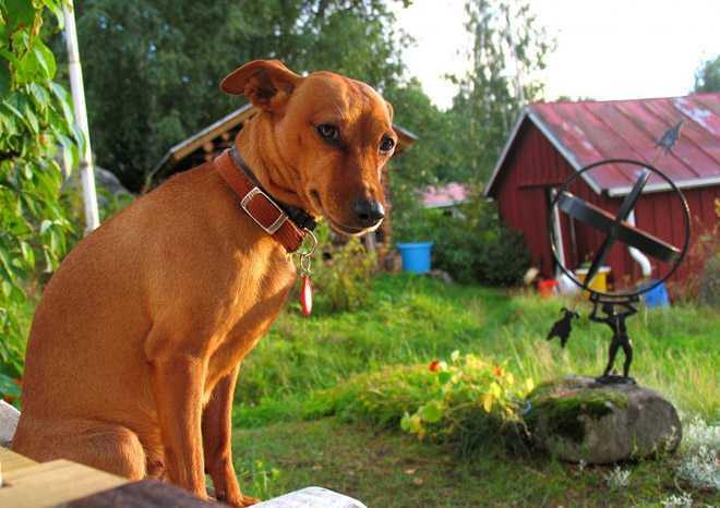 Рыжая собачка сидит в огороде