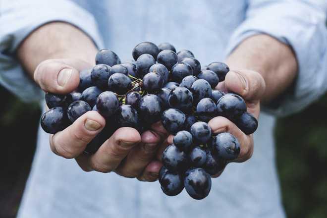 В рука человека грозди винограда, выращенного своими руками