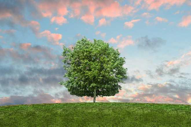Одинокостоящее в поле дерево, закат
