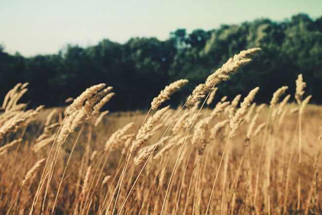 Пшеничное поле, лес