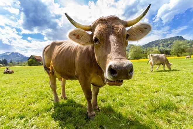 Корова на пастбище