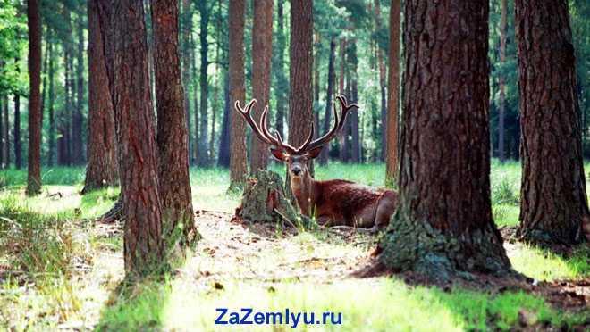 Олень между деревьями в лесу