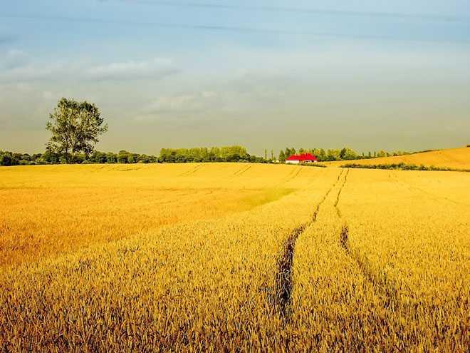 Золотистое поле, небо, горизонт