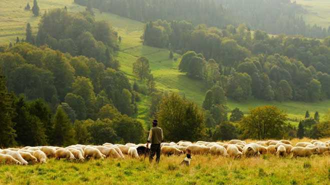 Стадо пасется на лугу