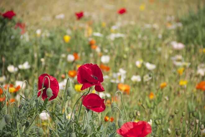 Маки, полевые цветы