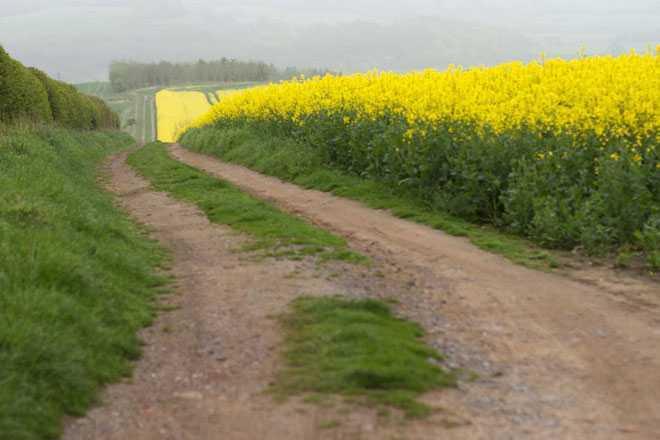 Тропинка, желтые цветы на поле