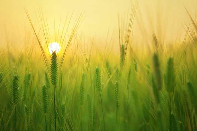 Колосья, солнце, лето