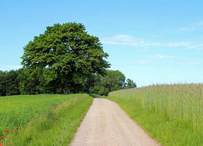 Дерево, песчаная дорога, луга
